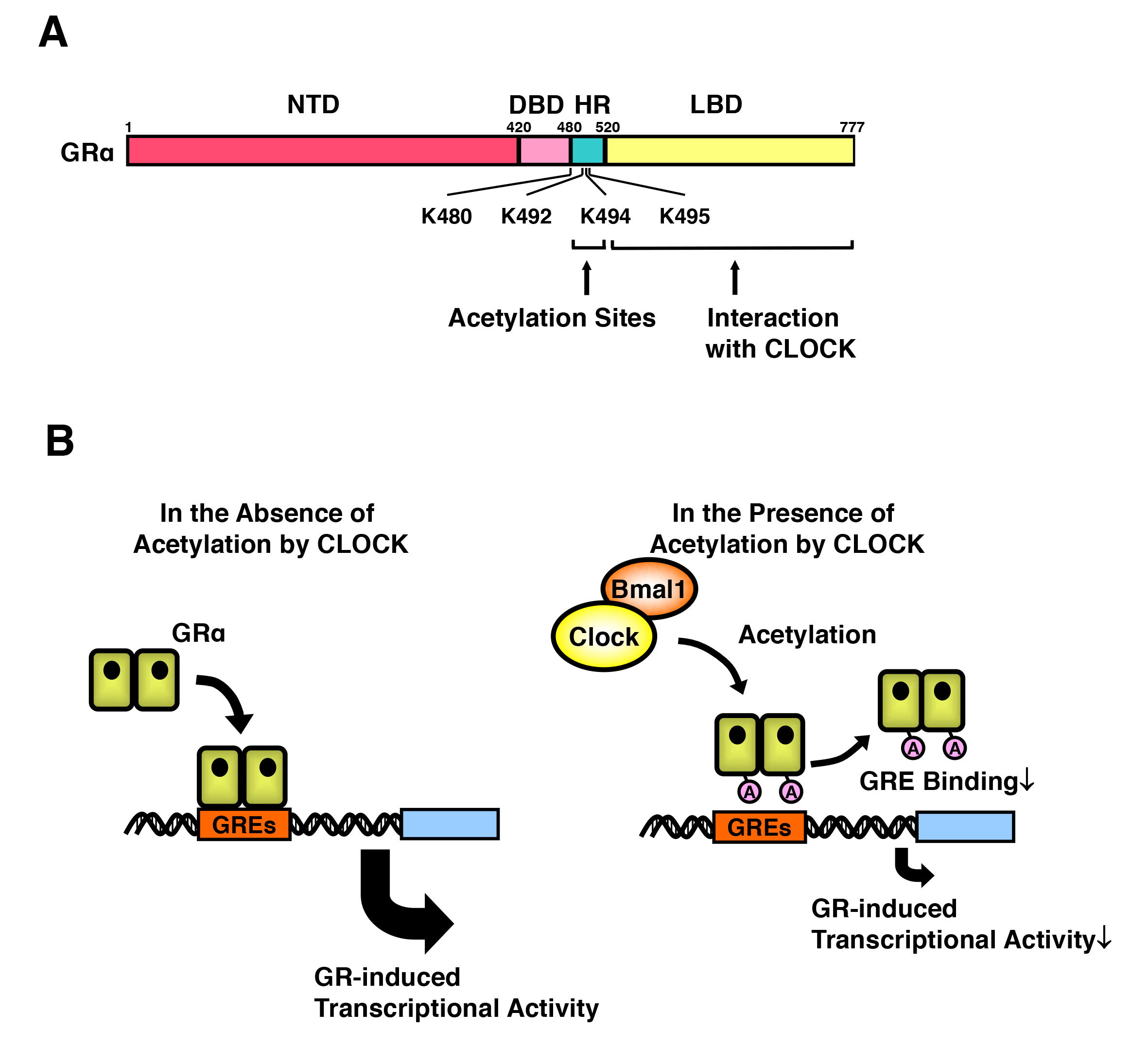 Chapters Archive Page 16 Of 35 Endotext Gardner Bender Circuit Tester L M Fleet Supply Figure 15 Clock Bmal1 Suppresses Gr Induced Transcriptional Activity Through Acetylation Physically Interacts With Lbd Its Nuclear