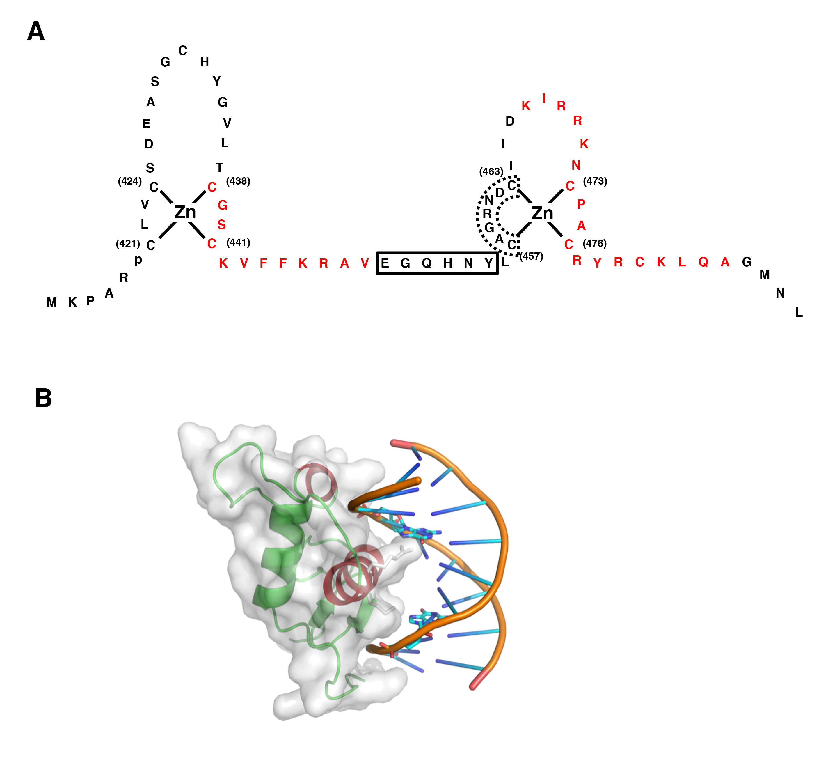 Figure 4: Structure of GR DBD and its interaction with DNA GRE A: Zinc  finger structures in DBD of hGR. Numbered eight cysteine (C) residues  chelate Zn2+ to ...