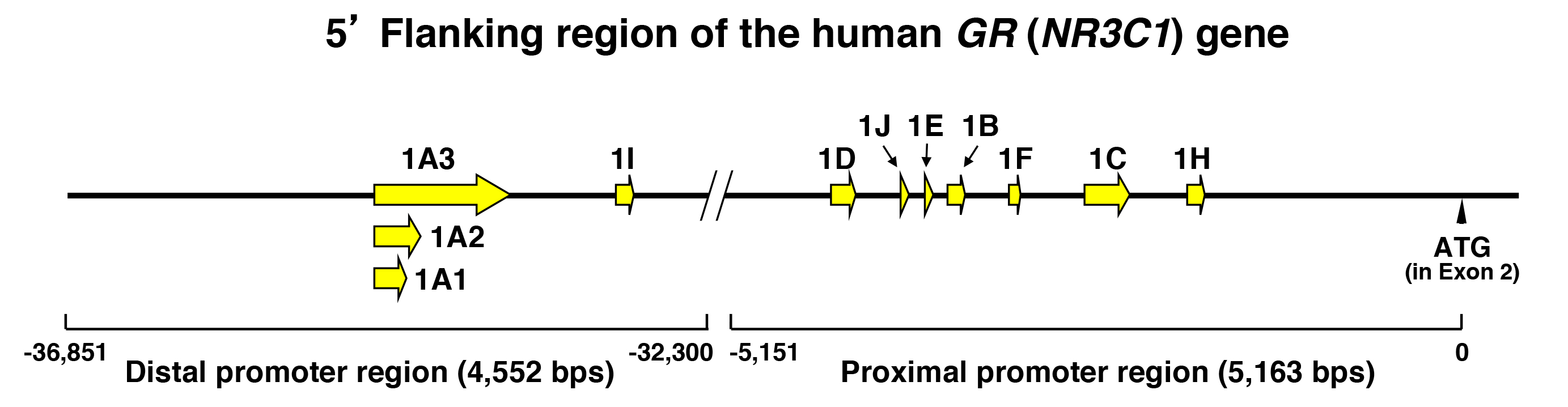 Chapters Archive Page 15 Of 34 Endotext Whitehead Gas Valve Wiring Diagram Figure 7 The Human H Gr Nr3c1 Gene Has 11 Different Promoters With Specific Exon 1 Sequences Hgr Harboring