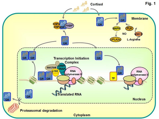 nongenomic actions of steroid hormones in reproductive tissues