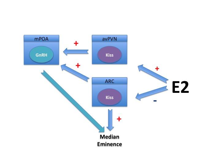 Kisspeptin Gnrh Neurons: Endotext
