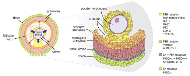 Figure14 endotext for Mural granulosa cells