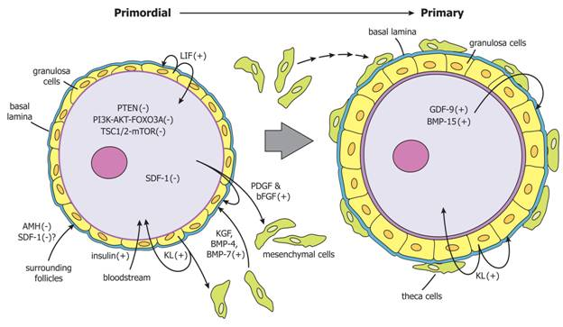 Primordial Follicles Ovary Primordial Follicle Activation